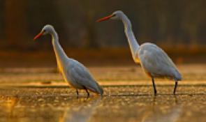 Birding is Big on the Cajun Coast